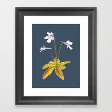 Butterwort - Pinguicula macroceras Framed Art Print