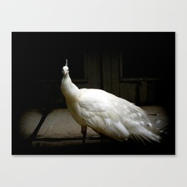 Elegant white peacock vintage shabby rustic chic french decor style woodland bird nature photograph Canvas Print