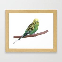 Budgerigar Parrot Framed Art Print
