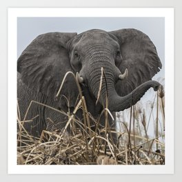 Elephant Along the Okavango River Art Print