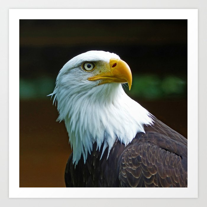 American Bald Eagle Head Art Print By Schroeerdesign Society6 Rh Com Posters