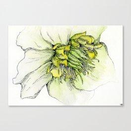 Watercolor Helleborus Canvas Print