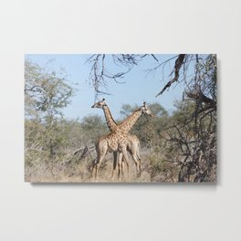 Two Giraffe in the Kruger National Park Metal Print
