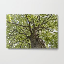 looking up into the tree crown Metal Print