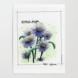 Alpine Aster Poster