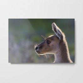 Kangaroo Chewing Grass Metal Print