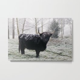 Black highland cow covered in frost on a winters morning. Norfolk, UK. Metal Print