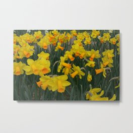 Daffodil 'Red Reed' Metal Print