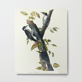 Three-toed Woodpecker from Birds of America (1827) by John James Audubon etched by William Home Liza Metal Print