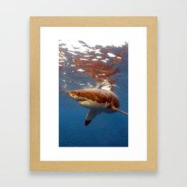 Great white shark, Carcharodon carcharias Framed Art Print