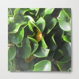 gardenia bush Metal Print
