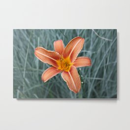 Flower close up of an Orange Lily in my parents Garden Metal Print