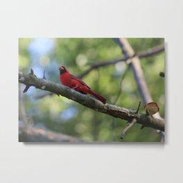 Cardinal Series III Metal Print