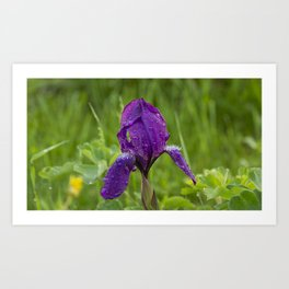Spring iris Moraea sisyrinchium on green background Art Print