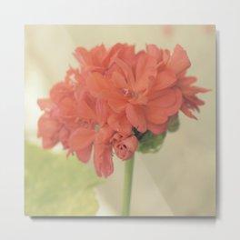 Zonal Pelargonium Flower Metal Print