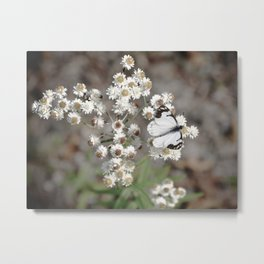 White Pine Butterfly Metal Print