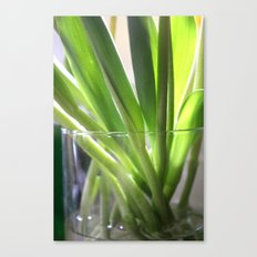 tulip stems Canvas Print