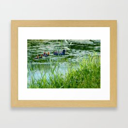 Coot with young ones Framed Art Print