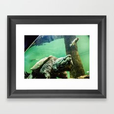 An Alligator Snapping Turtle  Framed Art Print