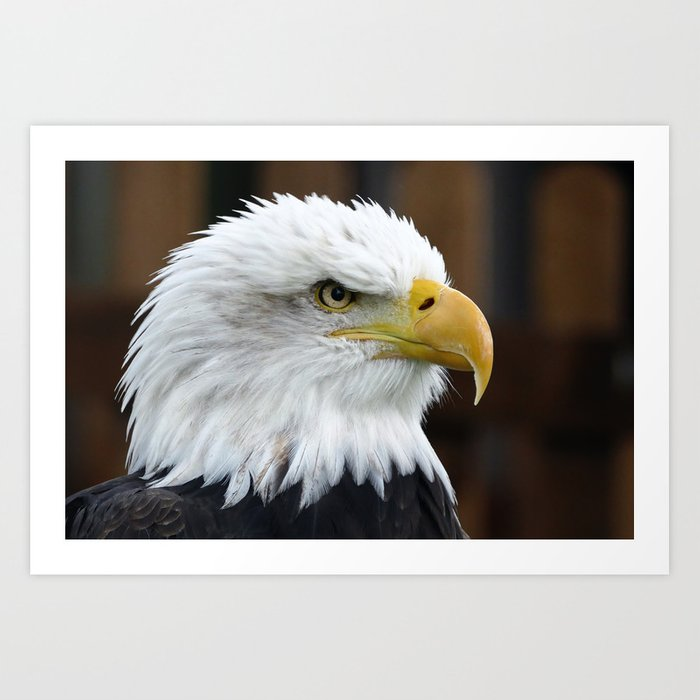 The Bald Eagle Art Print