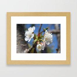 Cherry Blossom In Spring Sunlight Framed Art Print