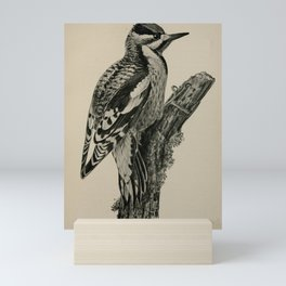 Vintage Print - Birdcraft: A Field Book of Birds (1897) - Yellow-Bellied Sapsucker Mini Art Print