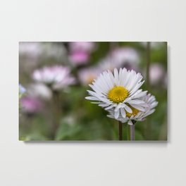 Colourful daisy field close up Metal Print