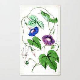 A Purging Pharbitis Vine in full blue and purple bloom - Vintage illsutration Canvas Print