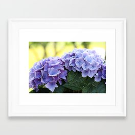 Purple hydrangea(1) Framed Art Print