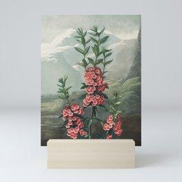 The Narrow–Leaved Kalmia from The Temple of Flora (1807) by Robert John Thornton. Mini Art Print
