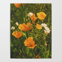 California Poppies 008 Poster