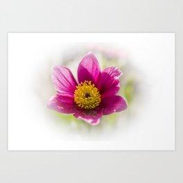 pulsatilla vulgaris in garden Art Print