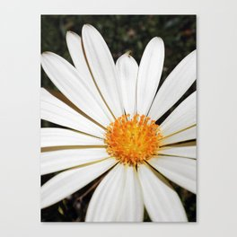 White and Curly #3 Canvas Print