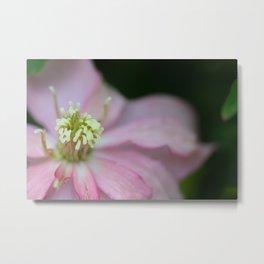 New Zealand Beauty Flower II (Macro of Clematis Montana) Metal Print
