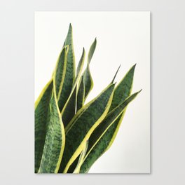 Sansevieria Canvas Print