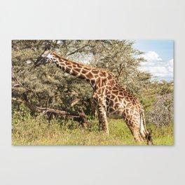 African Giraffe Snacking - Serengeti Tanzania 5068 Canvas Print