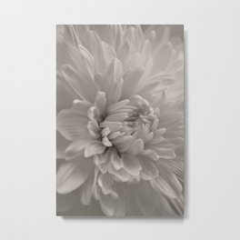 Monochrome chrysanthemum close-up Metal Print