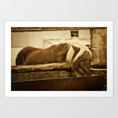 Mini Horse At The  Water Trough  Art Print