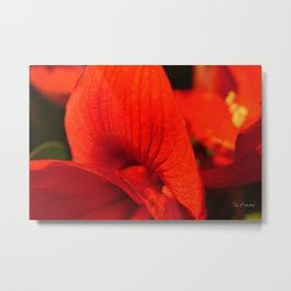 Amaryllis Bloom Metal Print