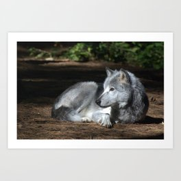 Gray Wolf at Rest Art Print