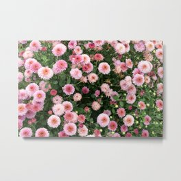 Beautiful pink flower field, shallow depth of field. Natural background with pink flowers, pink chry Metal Print