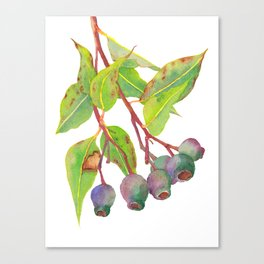 Gum tree branch with gumnuts - Watercolour Canvas Print