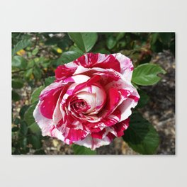 A Red and White Rose Canvas Print