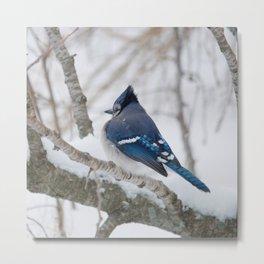 Winter's Cold (American Blue Jay) Metal Print