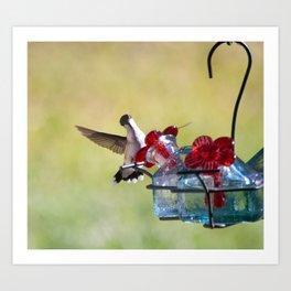 Ruby Throat Humming Bird  Art Print