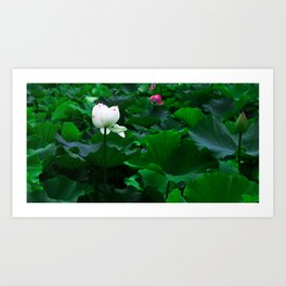 Lotus Pond Art Print
