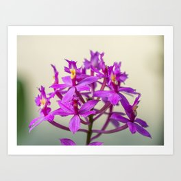 Epi Pretty Lady Misumi Orchid Flowers Art Print