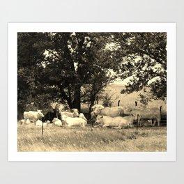 Charolais Family Cattle Photo Art Print