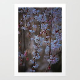 Cherry Blossoms in Bloom 1 Art Print