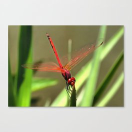 Beautiful Firecracker Dragonfly Canvas Print